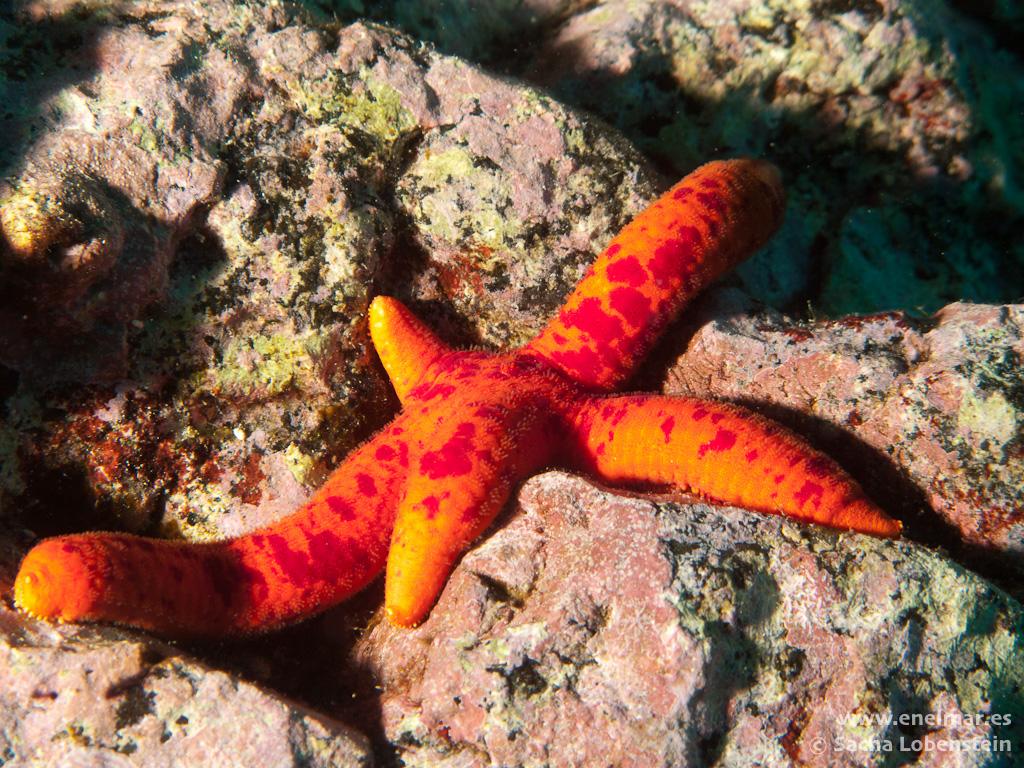 Estrella de mar serpiente (Ophidaster ophidianus)