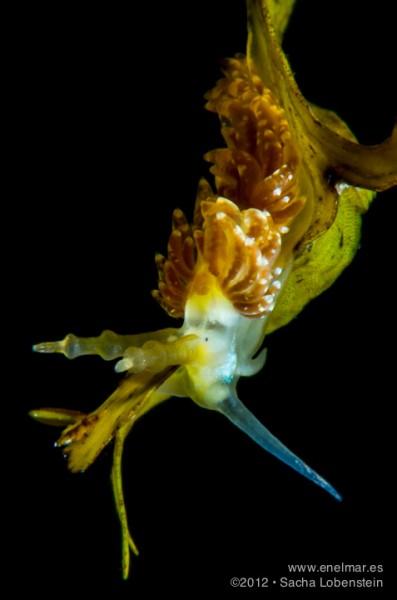 20120909 1824 - enelmar.es - Espurila (Spurilla neapolitana), Muelle de Garachico, Sacha Lobenstein