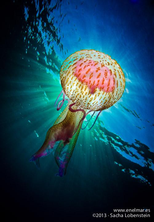 ¿Cómo salvar una medusa?